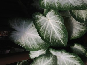 Caladium 'Aaron', a great choice for sun or shade