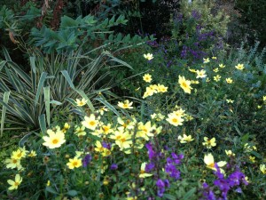 Coreopsis 'Full Moon' in Kris' front bed with annual purple angelonia