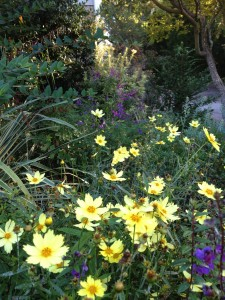 Coreopsis 'Full Moon' is a winner!