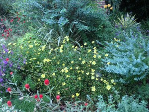 With annual red gomphrena, ornamental blueberry,  yucca, and hypericum shrubs -  Kris' front bed