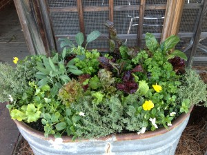 fall/winter planting - lettuce, kale, chard, herbs