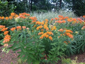Butterfly weed in my friend Carole Barton's garden...