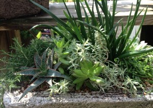 aloes, succulents and a trailing rosemary...