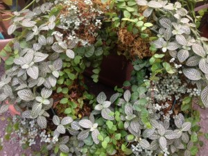 a living wreath for shade with fittonia, creeping fig and pilea