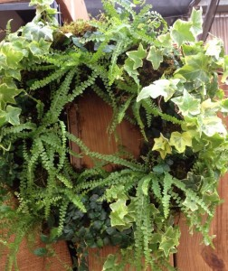 A living wreath planted for shade using houseplant ferns, creeping fig and ivy...