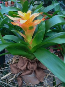 bromeliads make great gifts...