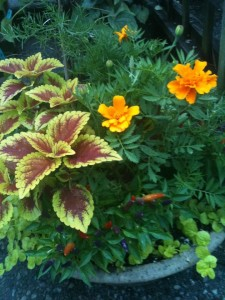 Marigolds & Coleus - Fall