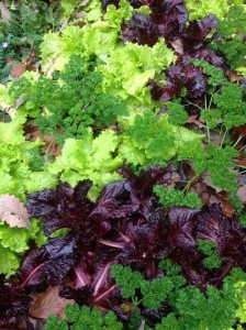Curley parsley and lettuce...