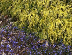 golden chamaecyparis foliage, with a skirt of Veronica 'Georgia Blue', shines in the spring....