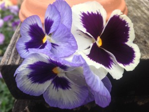 Pansy Matrix Ocean Breeze MIx