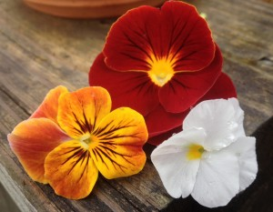 Pansy Dynamite Scarlet/Viola Sorbet Antique Shades/Viola Penny White