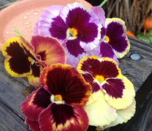Pansy Matrix Sunrise