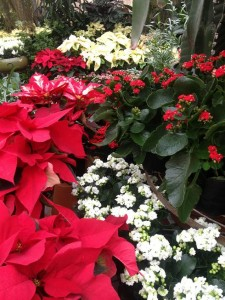 Poinsettias & Kalanchoes
