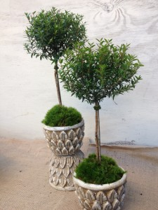 Myrtle topiaries in pretty pots...