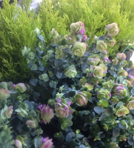 Ornamental oregano and lemon cypress...