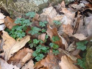 Geranium 'Biokovo' - January