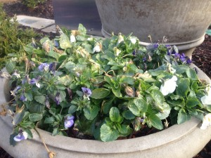 These pansies need to be deadheaded - they have cold damaged blooms and buds...