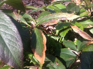 Winter damaged leaves of lenten roses...