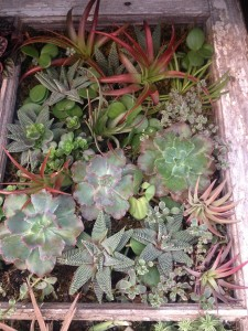 Echevarias, air plants, haworthias....