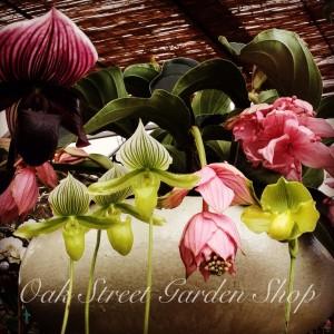 Medinilla magnifica & lady slipper orchids