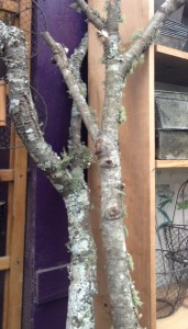 lichen covered limbs