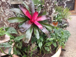 """Base of the Lichen Branch """"Tree"""" with Swiss Cheese Philo and Noregelia Bromeliad"""