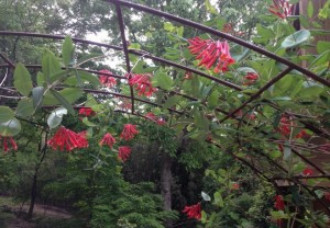 'Alabama Crimson' honeysuckle, growing on my arbor