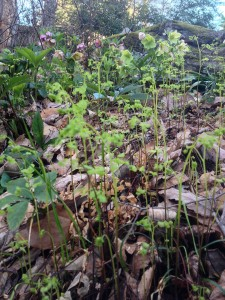 Southern maidenhair fern waking up...