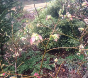blueberry bush blooms after a rainstorm