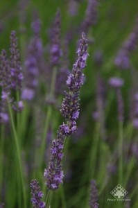 Lavender 'Phenomenal'  Photo Courtesy Peace Tree Farms