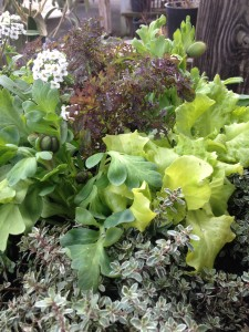 Silver thyme and lettuce brighten this planting...