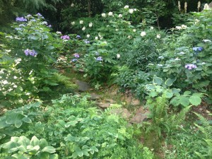 Variegated Solomon's Seal shown in lower left - mid summer with hydrangeas blooming...