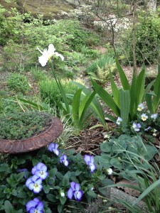Iris tectorum 'Alba' with 'Blue Mouse Ears' hosta and violas