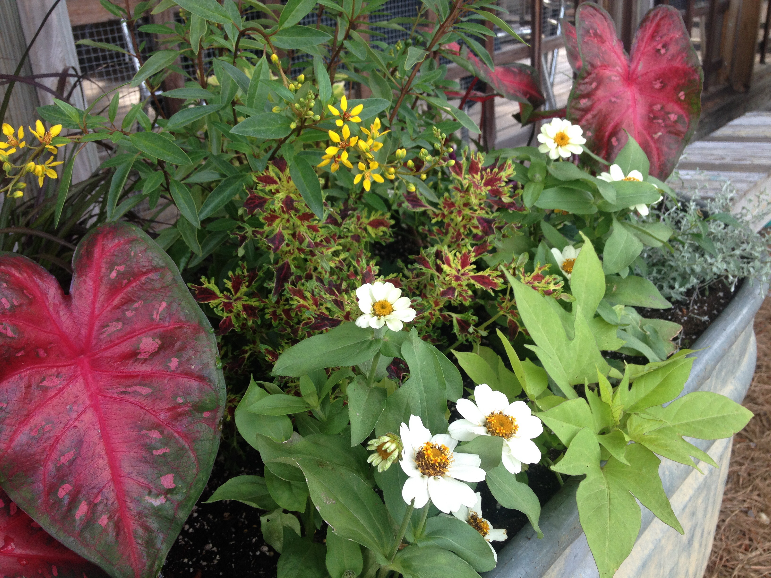 Little Leaf Coleus 'Ruby Red', Profusion Zinnias - Trough Planters