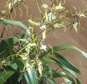 Brassidium orchid blooms - closeup