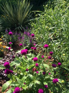 Tall purple gomphrena
