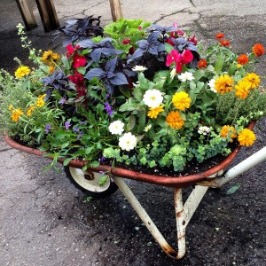 Wheelbarrow - Planted For Summer