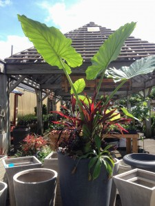 Planted Container for Summer - Alocasia