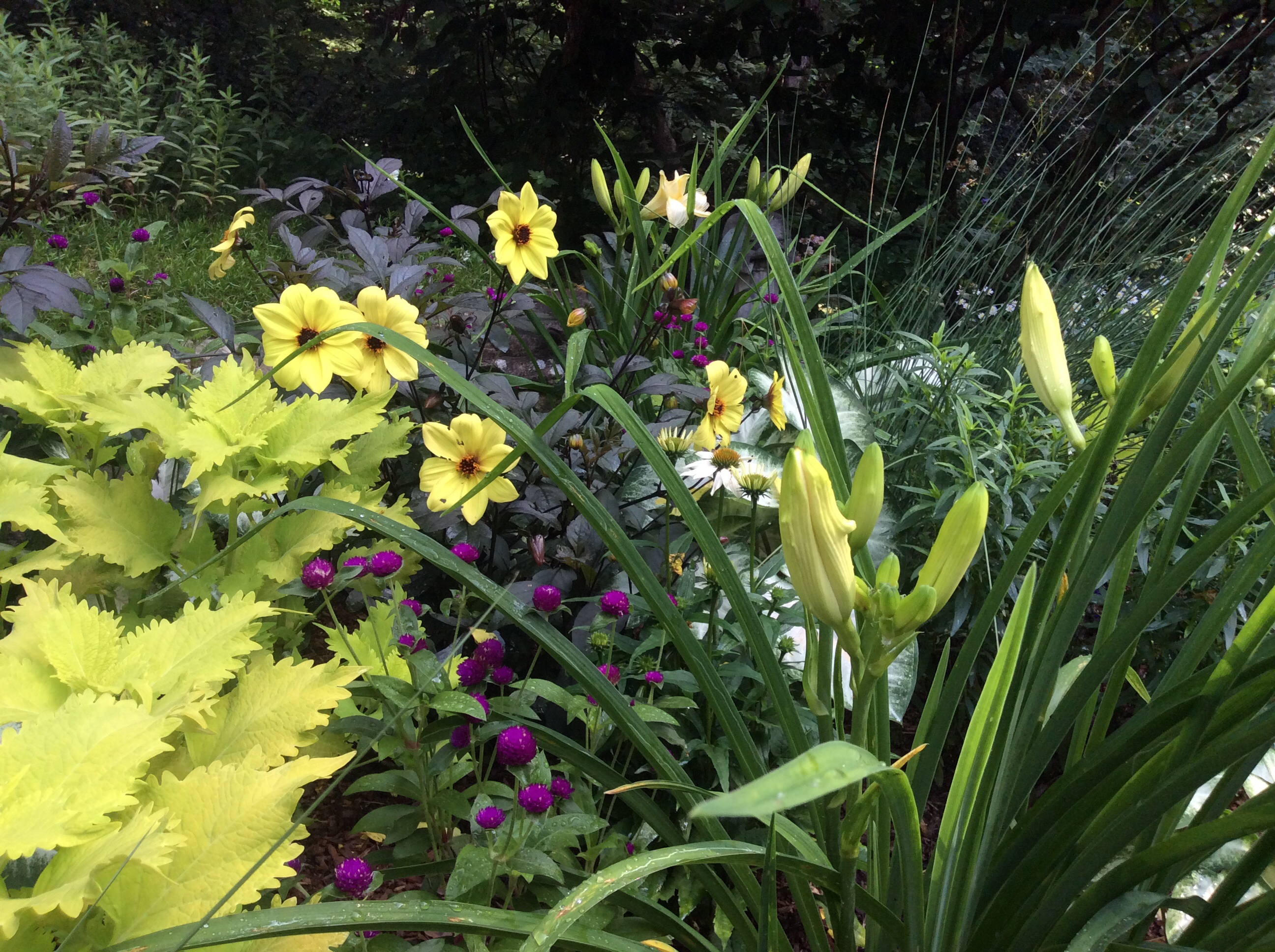 Purple gomphrena, Coleus, Mystic 'Illusion' dahlias, day lily 'Joan Señor'. 'Pow Wow White' coneflower