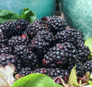 Fresh blackberries appear first, then the blueberries will follow...