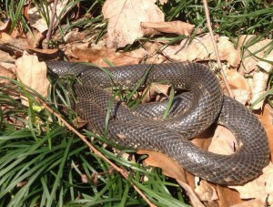 A very good snake to have, this is a non- venomous black rat snake.