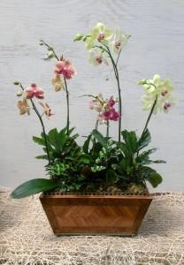 Phael Orchid Arrangement