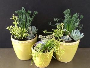 Succulents: Albuca spiralis 'Frizzle Sizzle', Rhypsalis, Echevaria