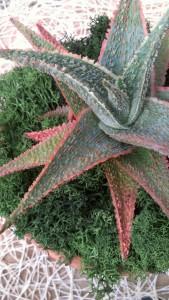 Aloe 'Green Sand'