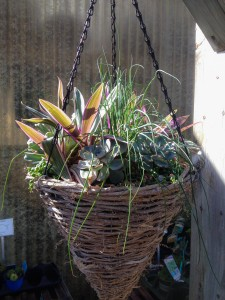 Hanging Basket for Sun - Rhoeo spathacea, String of Pearls, Echeveria, Chives