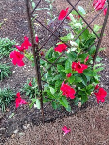 Red mandevilla...