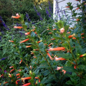 A hummingbird's dream...cigar plant and salvia