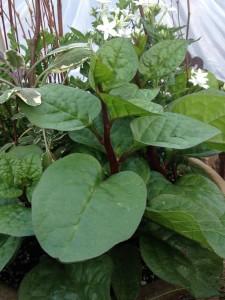 Malabar spinach...
