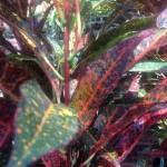 Croton 'Freckles'