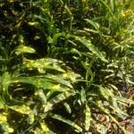 Croton 'Shoestring'